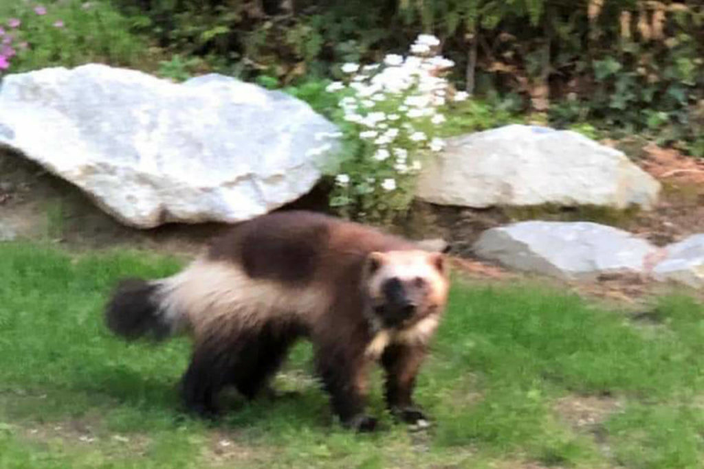Harrison Wolverine Sighting Exciting For Biologist Surrey Now Leader