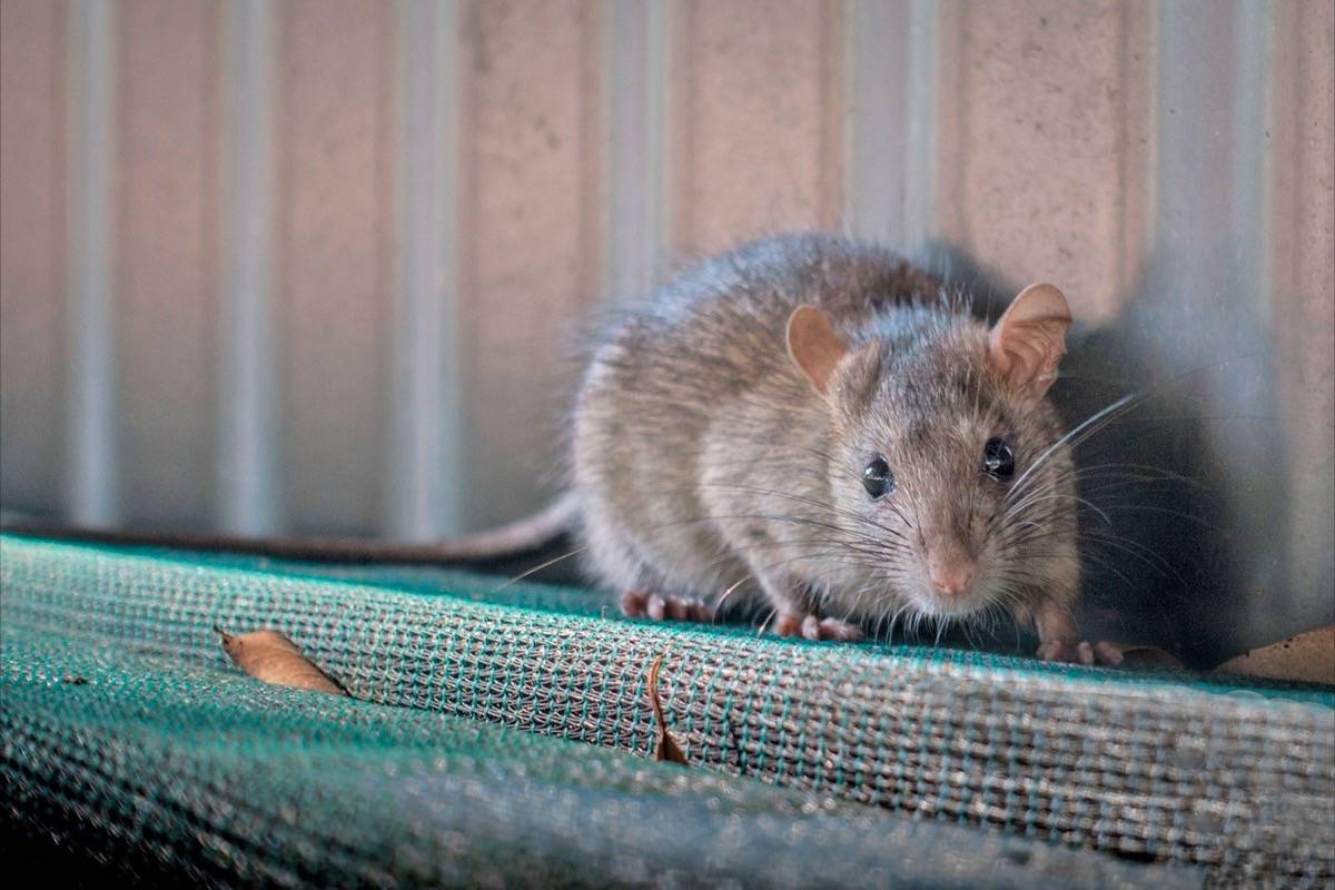 Mouse infestation hit Langley hospital\'s kitchens – Surrey ...