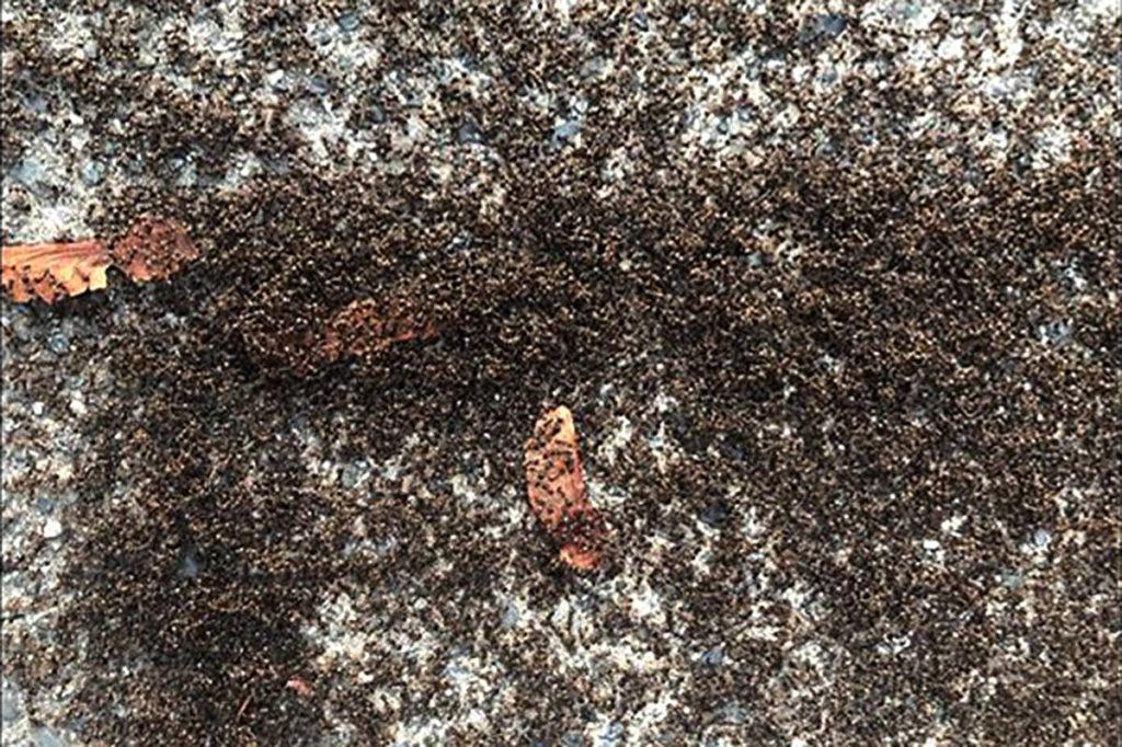 B.C. woman photographs massive ant swarm on Abbotsford driveway – Surrey  Now-Leader