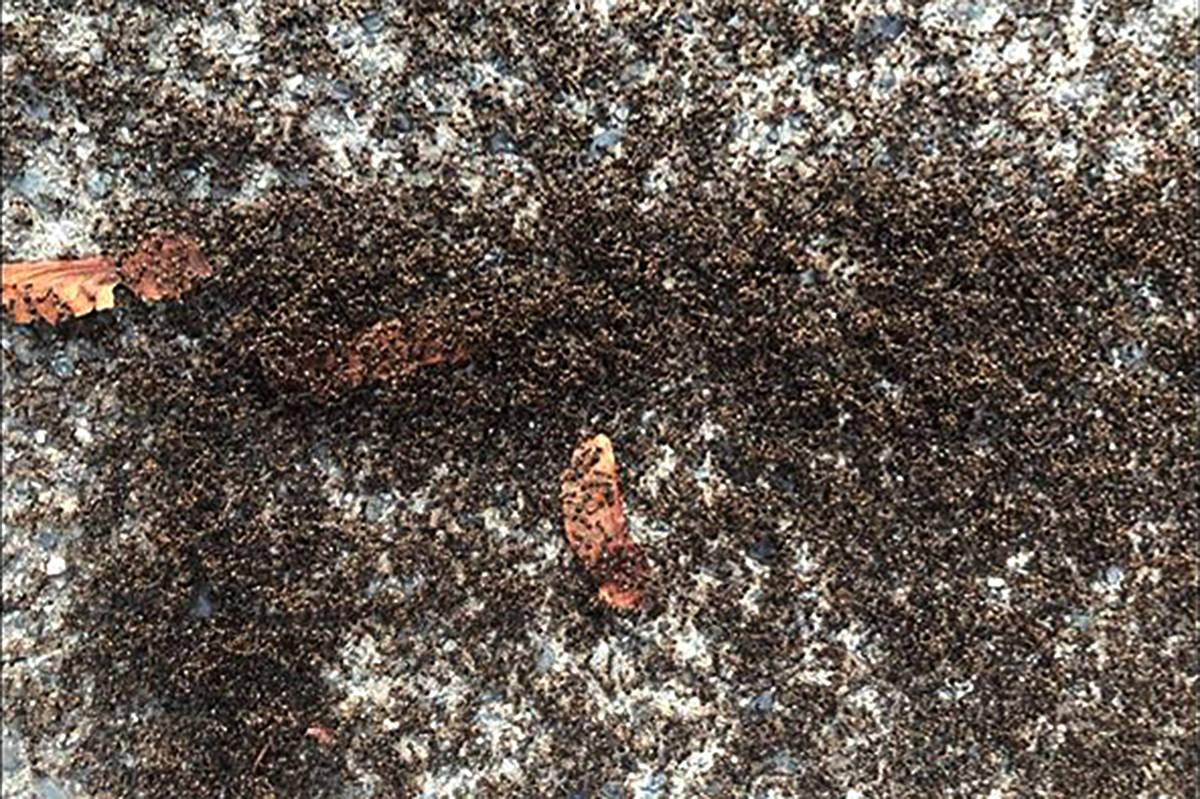 B C Woman Photographs Massive Ant Swarm On Abbotsford Driveway Surrey Now Leader