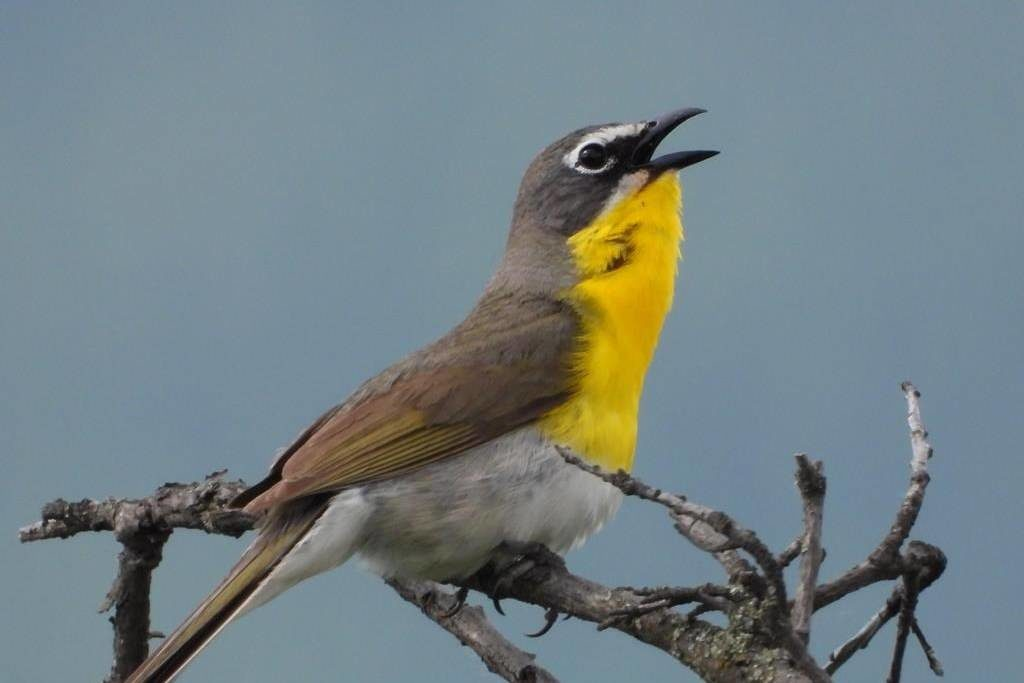 Rare yellow birds need wild roses to survive in British Columbia: researcher - Surrey Now-Leader