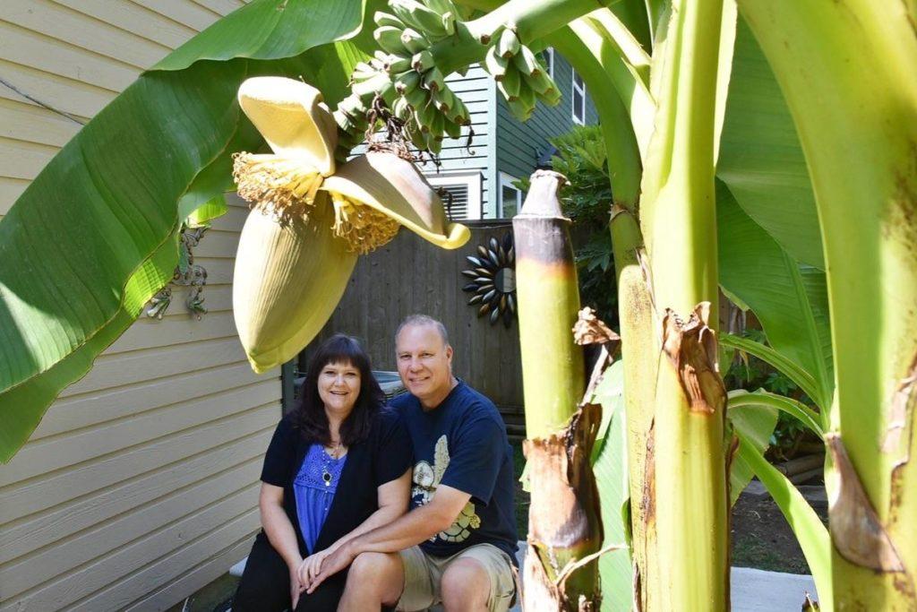 Banana tree bears fruit in Maple Ridge backyard - Surrey Now-Leader